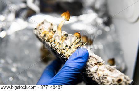 .cultivation Of Recreational Psilocybin Mushrooms In The World. Medical News On Hallucinogenic Mushr