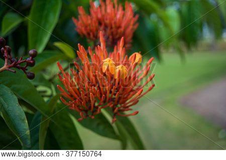 Grevillea Robyn Gordon In Assam. Beautiful Red Spike Flower. Grevillea \'robyn Gordon\'