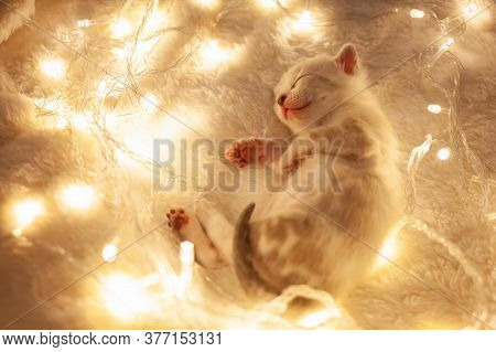 A White Tiger Bengal Kitten Lies On A Beige Background