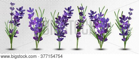 Collection Violet Lavender With Green Leaf Isolated On White Background. Bunch Flower. Lavender Clos