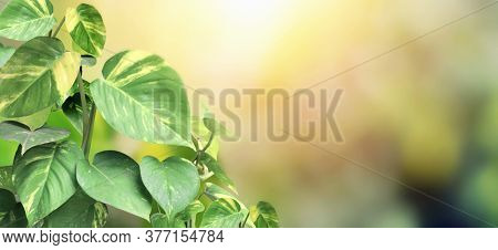 Sunny blurred nature background. Horizontal banner with leaves of Scindapsus aureus. Copy space for text. Mock up template