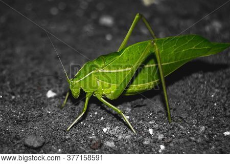 Green Leaf Insect On Ground. Insects / Bugs - Leaf Insect (phyllium Bioculatum) Or Walking Leaves. M
