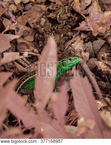 One Animal, Wild Male Sand Lizard(lacerta Agilis) In Green Mating Colors Sitting Between The Leafs.