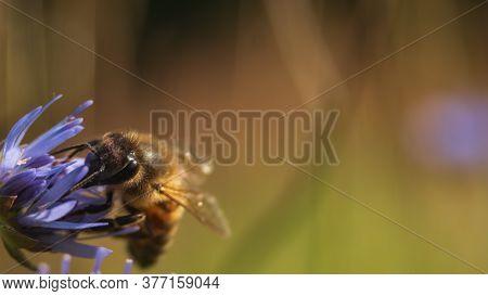 European Honey Bee (apis Mellifera) Looking For Pollen In Wild Flower