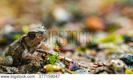 Single Small Toad Sitting Still Masking Into The Road Dirt. Extreme Clouse Up With Blurred Backgroun