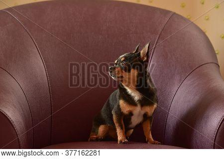 Chihuahua Dog In A Brown Armchair. Chihuahua On A Brown Sofa. A Black-brown-white Tricolor Chihuahua