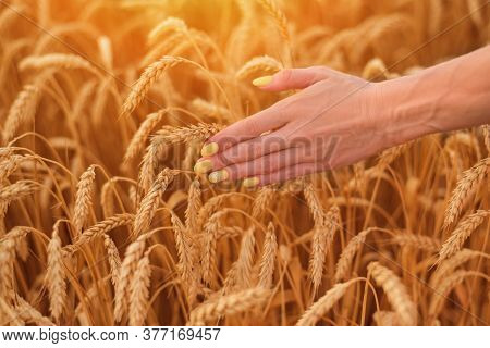 Neat Delicate Manicure On Short Nails On Background Of Ripe Wheat. Natural Beauty.