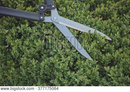Big Sharp Hedge Shears Are On An Overgrown Green Shrub, On Backyard. Landscaping Garden, Clipping He