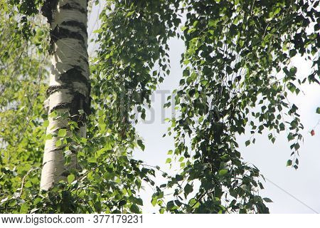 Beautiful Birch Tree With White Birch Bark In Birch Grove With Green Leaves