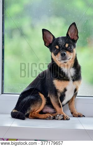 A Small Beautiful Dog Of The Chihuahua Breed Sits Alone On A White Windowsill By The Window. Day. Ch
