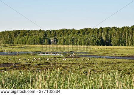 Geese Feeding In A Wetland In Summer Season In The Nature Reserve Beijershamn On The Island Oland In