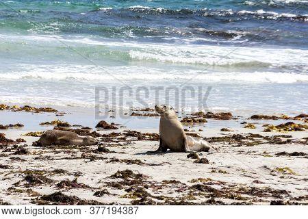 Two Australian Sea Lions (neophoca Cinerea) On The Kangaroo Island Beach, South Australia, Seal Bay