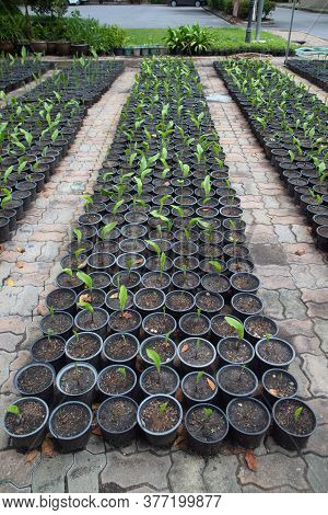 Outdoor Siam Tulip Seedlings In Pots Cultivated In The Park.