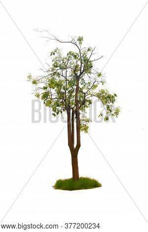 Trees Isolated On White Background, Tropical Trees Isolated Used For Design, With Clipping Path.
