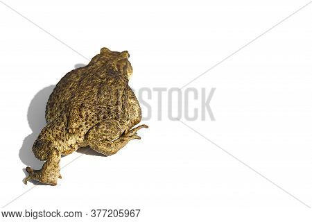 Common Toad Or European Toad, Bufo Bufo, Isolated On White Background.