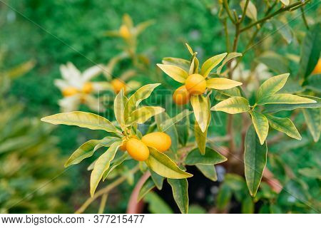 Kumquat Or Fortunella Tree With Ripe Orange Fruits On Branches In The Garden.