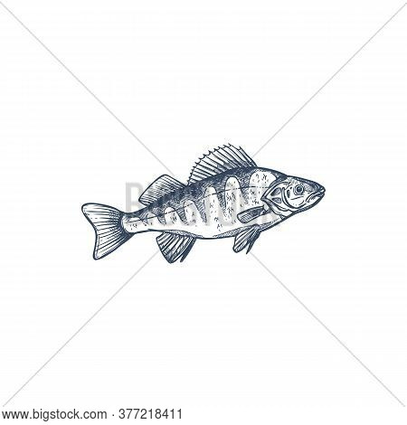 Perch Freshwater Gamefish Family Percidae, Common Perca Isolated Monochrome Sketch. Vector Yellow Pe