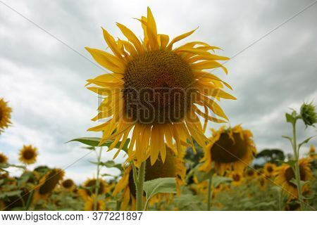 Yellow Sunflower Blossom With Green Stem Petals And Variegated Seeds