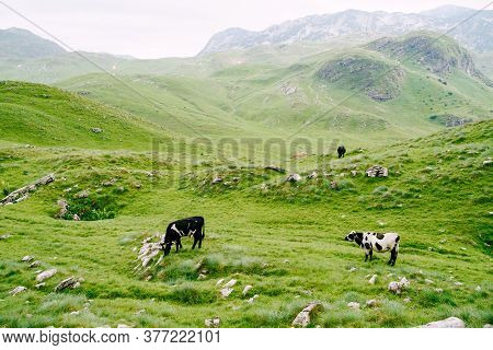 A Herd Of Cows Grazes On Green Hilly Meadows In The Mountains Of Montenegro. Durmitor National Park,