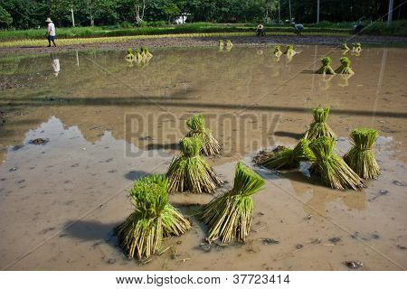 Farmers Planting Rice.
