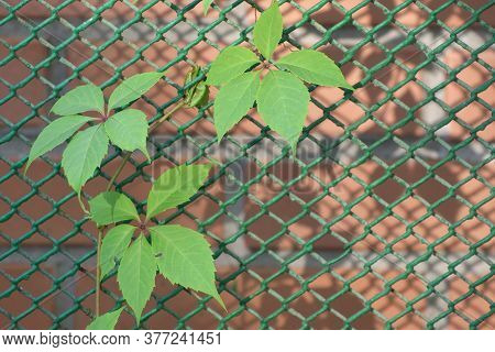 A Branch Of Grapes With Green Leaves Curls On An Openwork Metal Mesh. Copy Space.