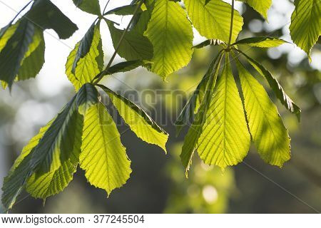 Floral Background. Young Leaves Of A Chestnut Are Lit With Soft Light. Spring In The Forest.