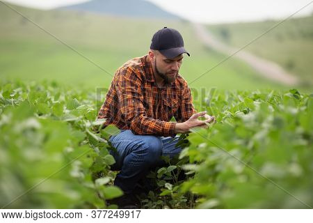 A Farmer Inspects A Green Soybean Field. The Concept Of The Harvest