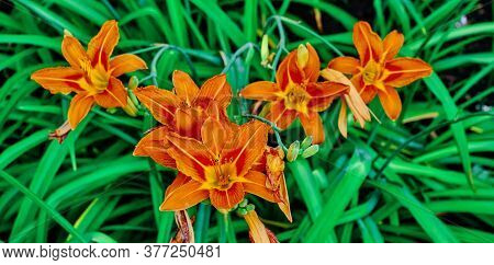 A Beautiful Buds Of An Orange Daylily Flowers On Bright Green Background Hemerocallis Copy Space