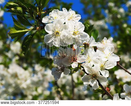 Branch Of Gentle White Flowers Of A Cherry
