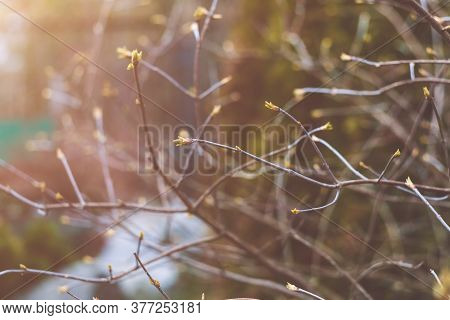 Young Buds On The Bare Branches Of A Bush. Beautiful Spring Natural Background. A Hedge Of Branches