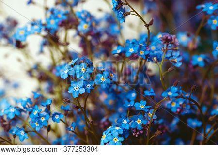 Forget-me-nots Close Up. Deep Blue Flower Bouquet. Beautiful Floral Romantic Background. Flowers On