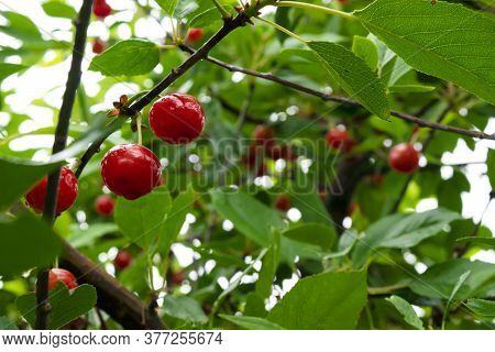 Red Ripe Heart Cherries With Water Drops Hanging On The Branch Of A Cherry Tree, Surrounded By Green
