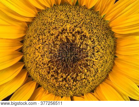 Beautiful Sunflower On The Field Close-up. Agrarian Industry. Blurred Background. Free Space For Tex