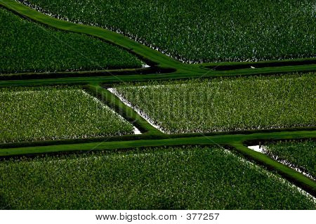 Taro Field Design