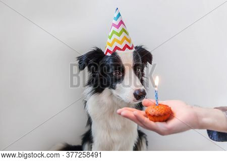 Funny Portrait Of Cute Smiling Puppy Dog Border Collie Wearing Birthday Silly Hat Looking At Cupcake