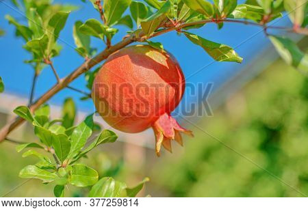 Red Pomegranate Hanging On A Tree. Pomegranate Tree In The Garden.juicy Red Pomegranate Growing On A