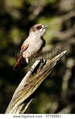 Siberian Jay On Tree Branch