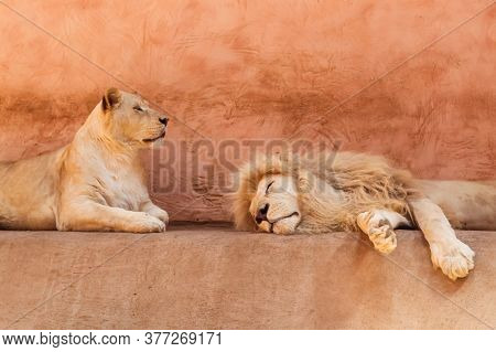 Lion And Lioness Are Resting In The Zoo Aviary