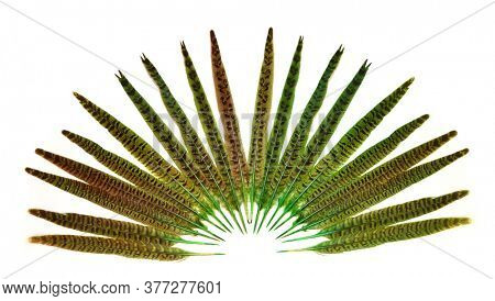Green Large long feathers of a pheasant on a white background