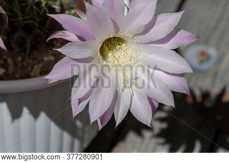 Succulents. Beautiful, Prickly, Succulent Plant (echinоpsis) With Delicate Pink Flowers Grows Close-