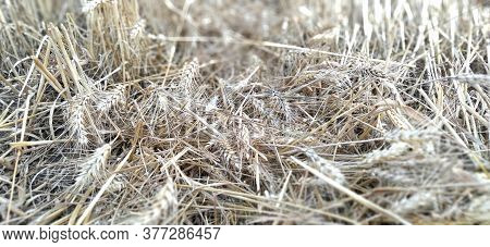 Stubble Stalks Of Cereal Plants Crops After Harvesting. Stalks And Cake Of Ripe Wheat. Separate Spik