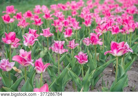 Environment And Ecology. Enjoy Seasonal Blossom. Pink Flowers In Field. Landscape Of Netherlands Tul