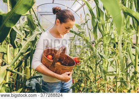 Gardening And Agriculture Concept. Young Woman Farm Worker With Basket Picking Fresh Ripe Organic To