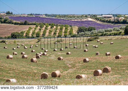 Valensole, France - July 5, 2020: View Of The Plateau De Valensole: Hay Bales, Lavender Fields, Oliv
