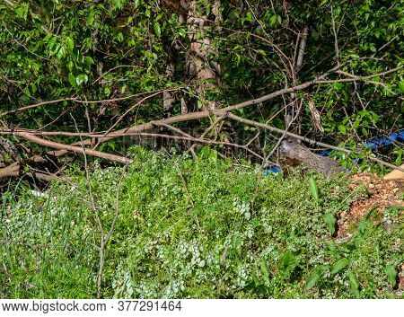 Slowly And Cautiously A Groundhog Ventures Out Of His Underground Burrow In Missouri. The Hog Chose