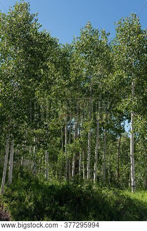 Aspen Trees On A Green Summer Slope With A Blue Summer Sky.