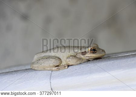 Gray Beige Frog Resting On A Gutter Downspout With Brown Eye Open Lying In A Resting Position. Side