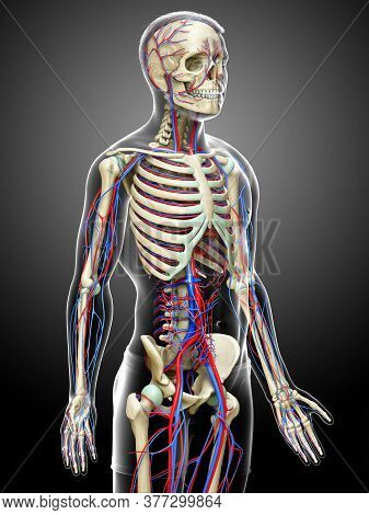 3d Rendered Medically Accurate Illustration Of The Male Circulatory And Skeleton System