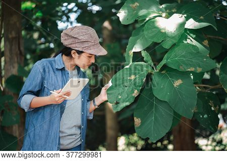 Female Botanists Are Viewing The Leaves Of Problematic Teak Trees To Save The Changes On A Tablet.