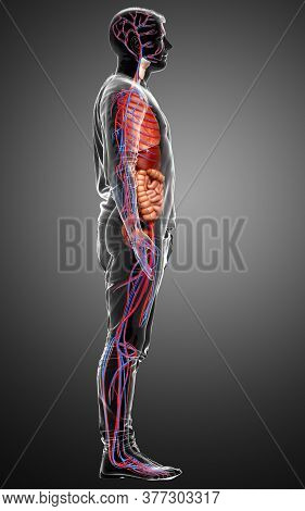 3d Rendered Medically Accurate Illustration Of The Male Circulatory  System And Internal Organs